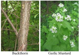 Buckthorn and Garlic Mustard